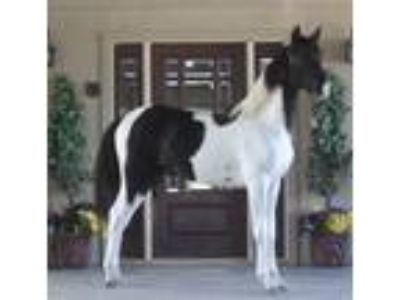 Beautiful Tobiano Spotted Filly