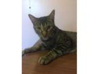 Adopt Ripple a Gray, Blue or Silver Tabby Domestic Shorthair / Mixed (short