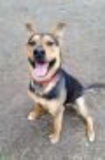 Dakota Shepherd Dog