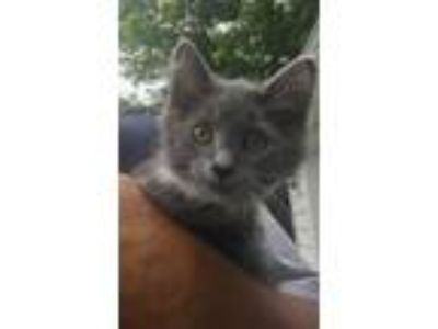 Adopt Phillip a Gray or Blue (Mostly) Domestic Mediumhair (medium coat) cat in