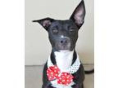 Adopt Sundress a Black - with White Terrier (Unknown Type
