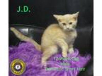 Adopt J.D. a Domestic Short Hair