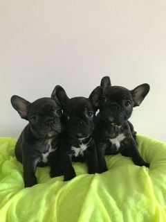PureBred Frenchies Pups available