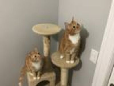 Adopt Steph & Curry a Orange or Red Tabby American Shorthair / Mixed cat in