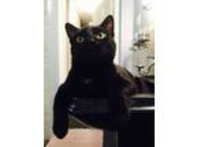Adopt Black Widow a Domestic Short Hair