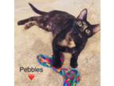 Adopt Pebbles a Tortoiseshell Domestic Shorthair / Mixed (short coat) cat in