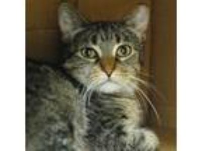 Adopt Mouse a Domestic Shorthair / Mixed cat in Des Moines, IA (25854851)