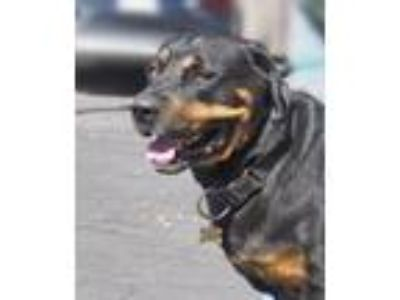 Adopt Bubba a Black - with Tan, Yellow or Fawn Rottweiler / Mixed dog in Tracy