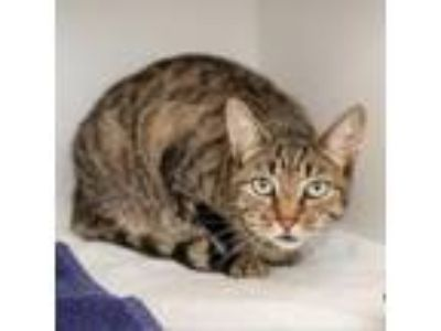 Adopt Tig'r a Domestic Short Hair