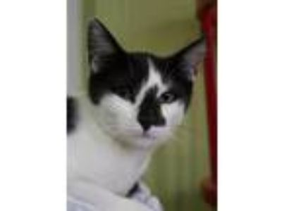 Adopt Link a Extra-Toes Cat / Hemingway Polydactyl, Domestic Short Hair