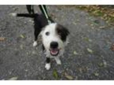 Adopt Petey a Wheaten Terrier, Border Collie