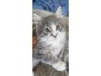 Adopt Archie a Gray or Blue (Mostly) Domestic Longhair (long coat) cat in