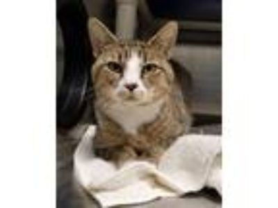 Adopt Hiccup a Brown Tabby Domestic Shorthair / Mixed (short coat) cat in