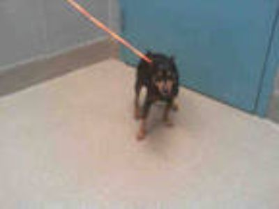 Adopt JOHN a Black - with Tan, Yellow or Fawn Miniature Pinscher / Mixed dog in