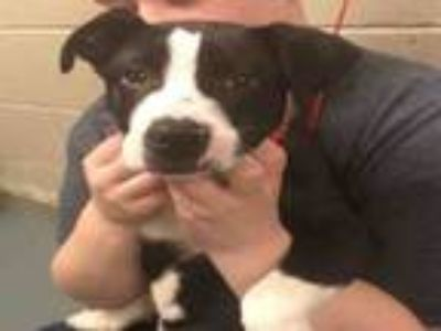 Adopt PATRICK a Staffordshire Bull Terrier