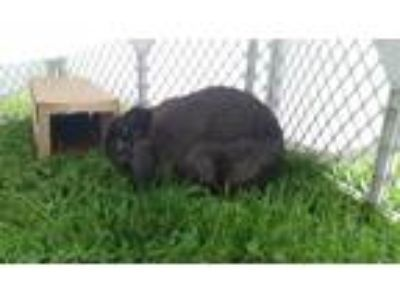 Adopt Honey a Mini Lop / Mixed rabbit in Plainfield, IN (21707583)