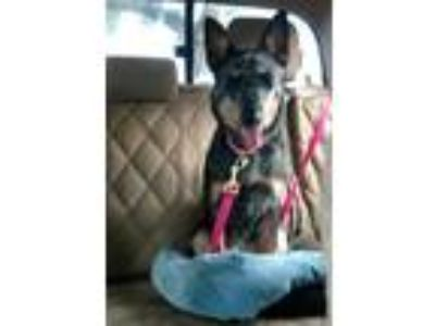 Adopt ATHENA a Black - with Gray or Silver Cattle Dog / Blue Heeler / Mixed dog