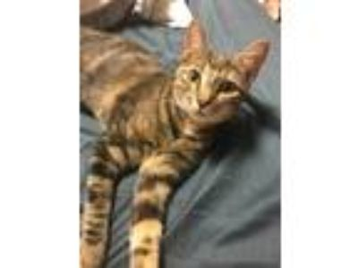 Adopt Nala a Tan or Fawn Tabby American Shorthair cat in Bayonne, NJ (25283203)