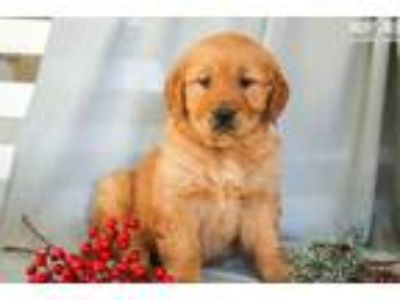 Golden Retriever Puppies Binghamton Classifieds Clazorg