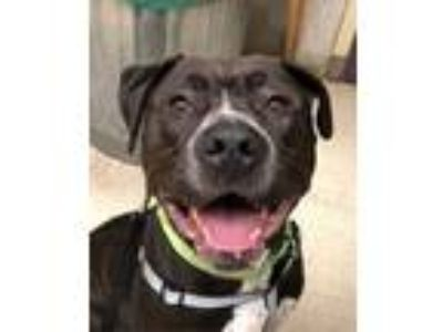 Adopt Muddy Waters a American Staffordshire Terrier, Mixed Breed