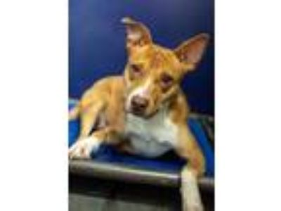 Adopt Princess a Pit Bull Terrier, German Shepherd Dog