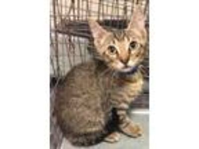 Adopt Ron Weasley 1055-19 a Brown or Chocolate Domestic Shorthair / Domestic