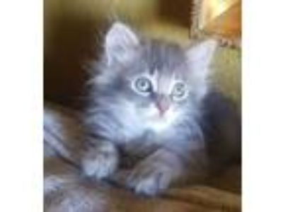 Adopt Spice a Maine Coon