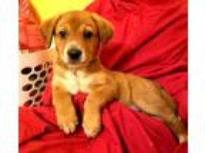 Adopt Sansa a Tan/Yellow/Fawn - with White Blue Heeler / Labrador Retriever /