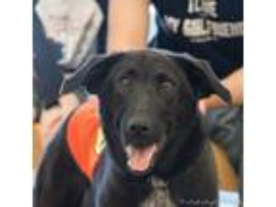 Adopt Tipper a Labrador Retriever