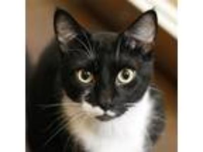 Adopt Eddie (mcas) a Domestic Shorthair / Mixed (short coat) cat in Troutdale