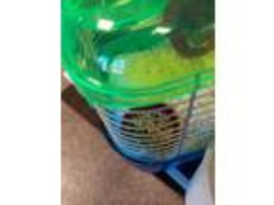Adopt Squeaky a Dwarf Hamster