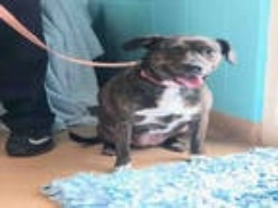 Adopt MAMMY a Brindle - with White Boxer / Mixed dog in York, SC (25802682)