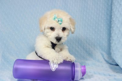 Puppy Heaven   Teacup & Toy Puppies For Sale in Las Vegas