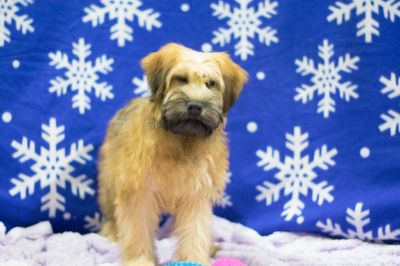 Soft Coated Wheaten Terrier PUPPY FOR SALE ADN-70071 - Neveah