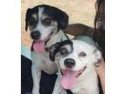 Adopt Oreo a White - with Gray or Silver Border Collie / Dachshund / Mixed dog