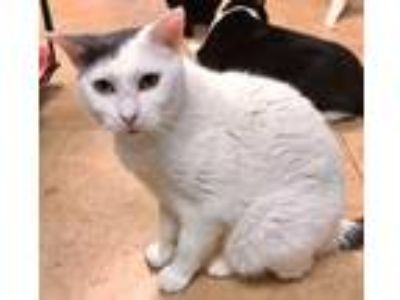 Adopt Lisa a White (Mostly) Domestic Shorthair / Mixed (short coat) cat in