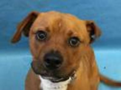 Adopt Falcon a Red/Golden/Orange/Chestnut Boxer / Mixed dog in Golden Valley