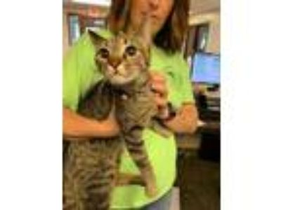 Adopt Autumn (Petsmart South Bend) a Brown or Chocolate Domestic Shorthair /