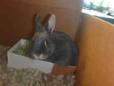 Adopt BUNNY FOO FOO a Grey/Silver Other/Unknown / Mixed rabbit in Chatsworth