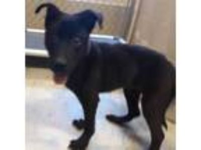 Adopt Riley a Black Spaniel (Unknown Type) / Collie / Mixed dog in West Memphis
