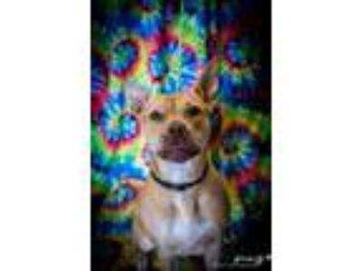 Adopt Kayla a Pit Bull Terrier