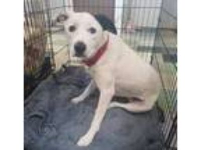 Adopt Los Teques 'Ghost' a White Border Collie / Mixed dog in Mission