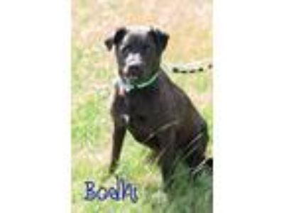 Adopt Bohdi a Black - with White Labrador Retriever / Pit Bull Terrier dog in La