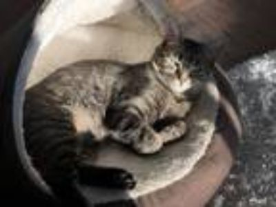Adopt Saoirse a Gray or Blue (Mostly) Domestic Shorthair cat in Union City