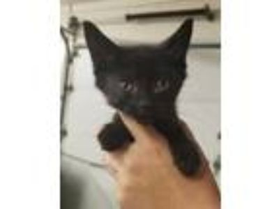 Adopt Jeff a All Black Domestic Shorthair / Domestic Shorthair / Mixed cat in