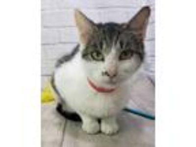 Adopt Power Puff a White Domestic Shorthair / Domestic Shorthair / Mixed cat in