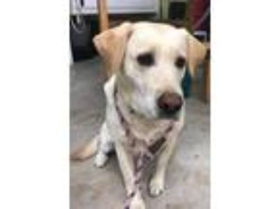 Adopt Sissy a Tan/Yellow/Fawn Labrador Retriever / Mixed dog in Earl