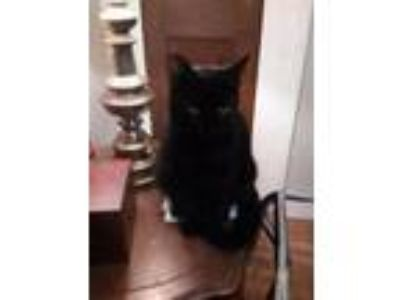 Adopt Black Peter a Domestic Short Hair