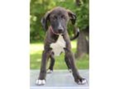 Adopt Patty a Black - with White Labrador Retriever / Hound (Unknown Type) /