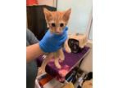 Adopt Matt a Orange or Red Domestic Shorthair / Domestic Shorthair / Mixed cat